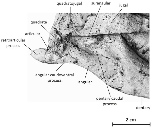 Postdentary bones of JMOL AD00114 in right lateral view.