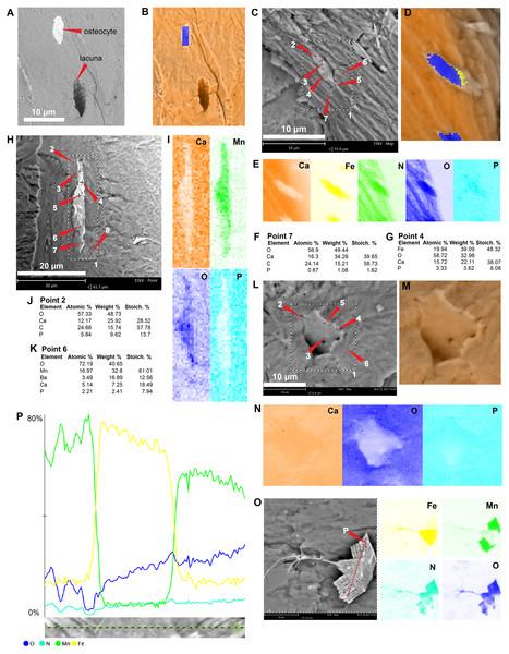 SEM/EDS analyses of Mongolemys elegans (IGM-90/42) bone.