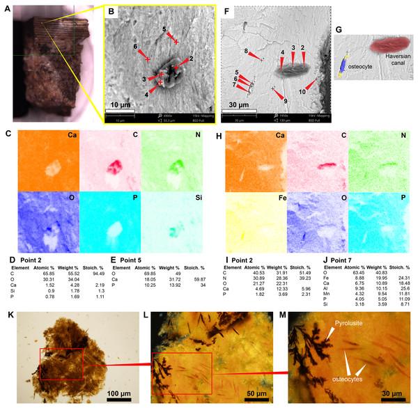 SEM/EDS analyses of podocnemidid indet. (UR-CP-0043) bone.