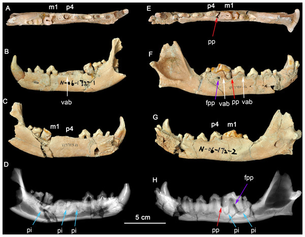Two dentaries of the same individual of Canis chihliensis.