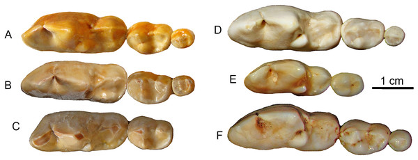 Lower molars from SSMZ as compared to living hypercarnivorous taxa.