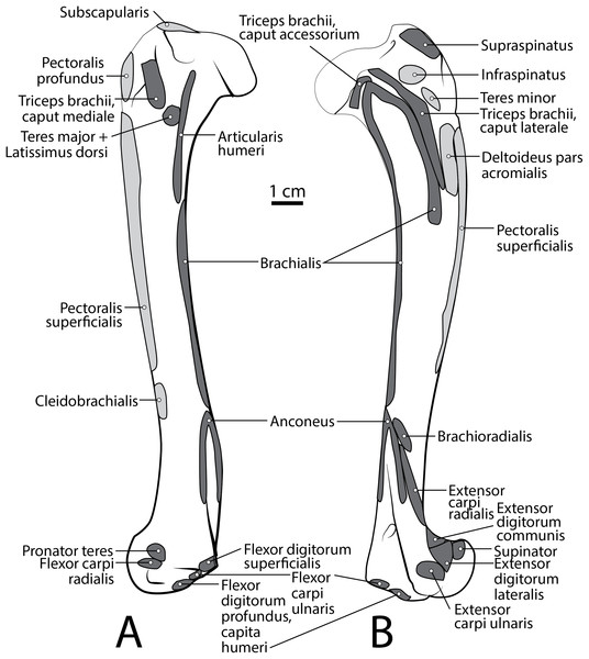 Humerus muscle maps for L. pictus (right side): (A) medial view, (B) lateral view.