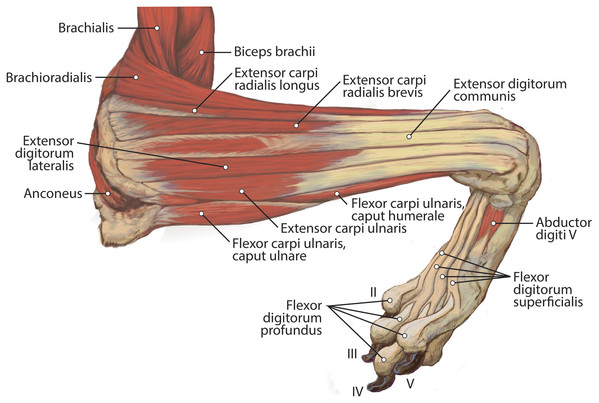 Lateral view of the superficial right antebrachium in L. pictus, including mm. biceps brachii, brachialis, and anconeus.