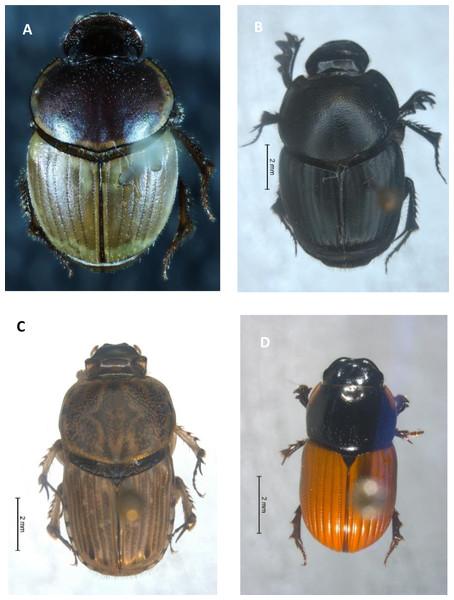 Invasive dung beetle species.