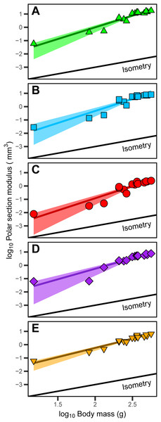 Positive allometric scaling of polar section modulus (Zp) in an ontogenetic series of (A) humerus, (B) ulna, (C) radius, (D) femur and (E) tibiotarsus from the homing pigeon.