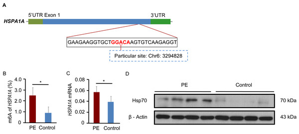 The expression of HSPA1A is regulated by m6A modification.