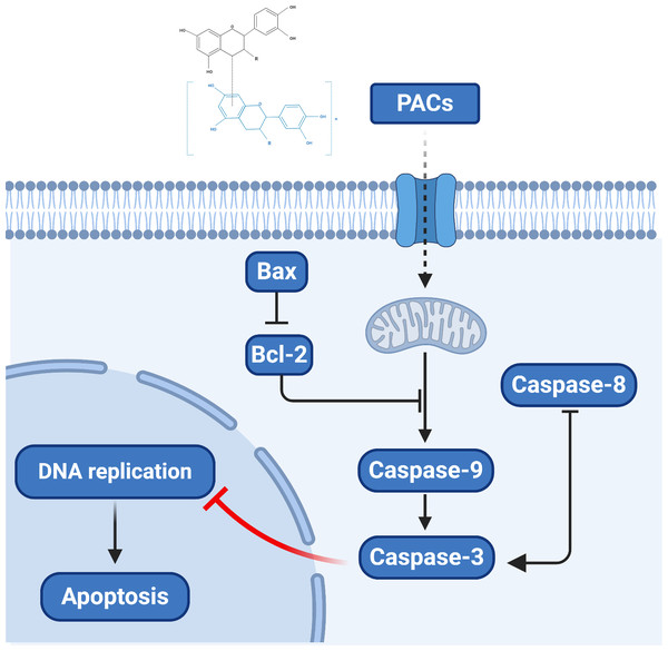 The proposed model of the molecular mechanism underlying the ability PACs to induce cancer cell apoptosis.