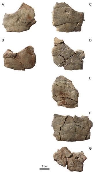MJSN BAN001-2.18 to MJSN BAN001-2.24, paratypes of Solnhofia brachyrhyncha (Kimmeridgian, Porrentruy, Switzerland).