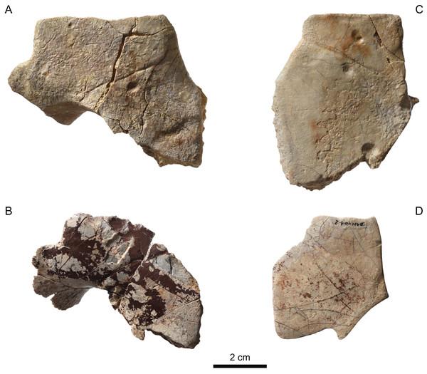 MJSN BAN001-2.25 to MJSN BAN001-2.28, paratypes of Solnhofia brachyrhyncha (Kimmeridgian, Porrentruy, Switzerland).