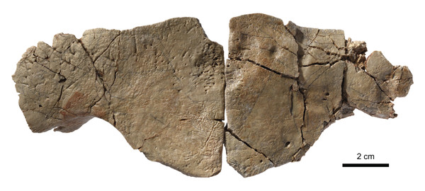 "MJSN BAN001-2.29, ""Plesiochelyidae"", Tropidemys? langii? (Kimmeridgian, Porrentruy, Switzerland)."