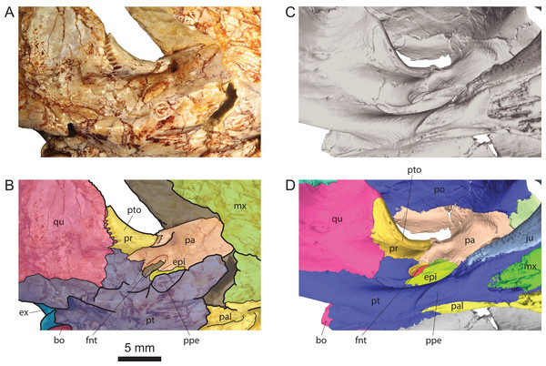 Comparison of the region of the processus trochlearis oticum and foramen nervi trigemini in Solnhofia brachyrhyncha and Solnhofia parsonsi.