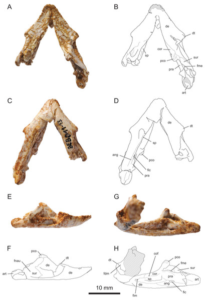 MJSN BEB011-13, mandible of Solnhofia brachyrhyncha (Kimmeridgian, Porrentruy, Switzerland).