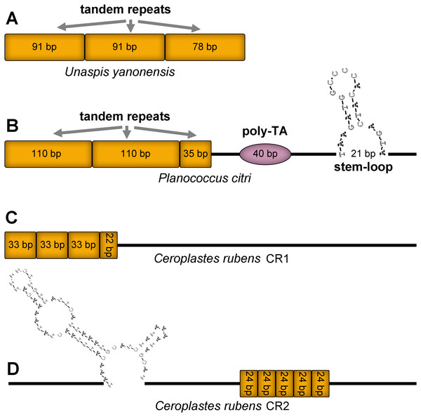 Predicted structural elements in the control regions of Unaspis yanonensis, Planococcus citri and Ceroplastes rubens.