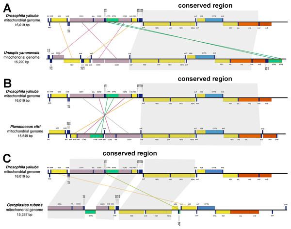 Gene arrangements of Unaspis yanonensis, Planococcus citri and Ceroplastes rubens in comparison with Drosophila yakuba.