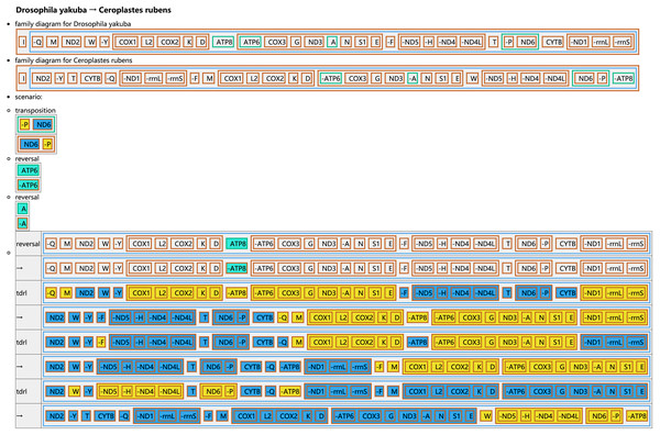 Reconstruction of mitochondrial gene rearrangement scenarios in the evolution of Ceroplastes rubens.