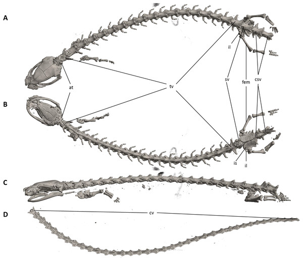 Osteology of Oedipina ecuatoriana sp. n. (holotype, BMNH 1901.3.29.115, SL =45.6 mm).