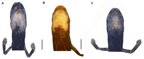 Head detail of (A) Oedipina villamizariorum sp. n. DHMECN 14489 (42.1 SL), holotype; (B) O. ecuatoriana sp. n. BMNH 1901.3.29.115 (45.6 SL) holotype; (C) O. aff. villamizariorum FHGO (39.8 SL). Scale bar represent 2 mm.