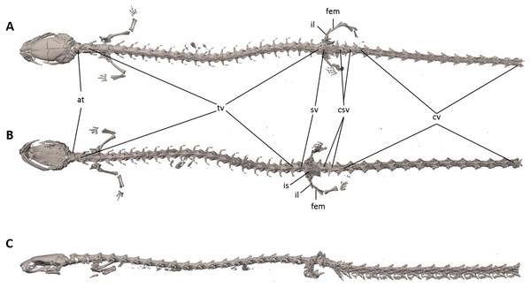 Osteology of Oedipina villamizariorum sp. n. (holotype, DHMECN 14489, SL =42.1 mm).