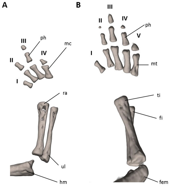 Osteology of the limbs of Oedipina villamizariorum sp. n. (holotype, DHMECN 14489, SL =42.1 mm).