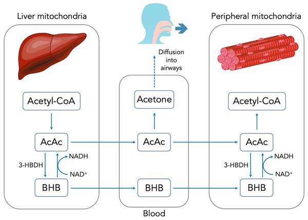 Summary of ketone body production, metabolism and excretion.