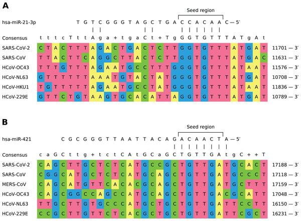 Shared binding sites of hsa-miR-21-3p and hsa-miR-421 on human coronavirus RNAs.
