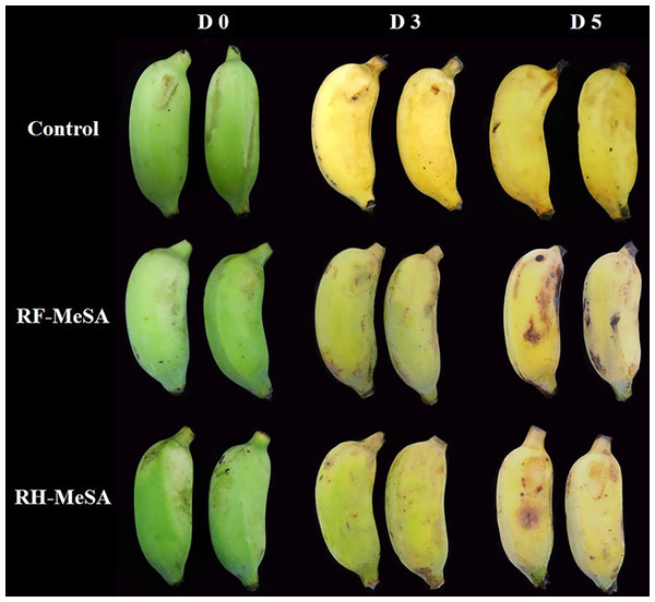 Visual peel color changes of banana fruit before, during, and after the postharvest treatment with RF-MeSA, RH-MeSA and untreated fruit (control) during storage at 25 ± 2 °C.