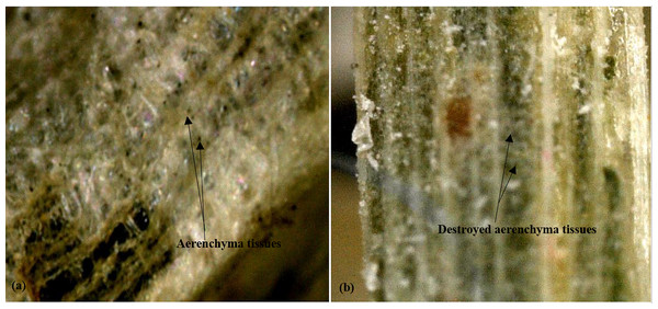 Micrographs (x270) showing aerenchyma tissues in cattail fibers.