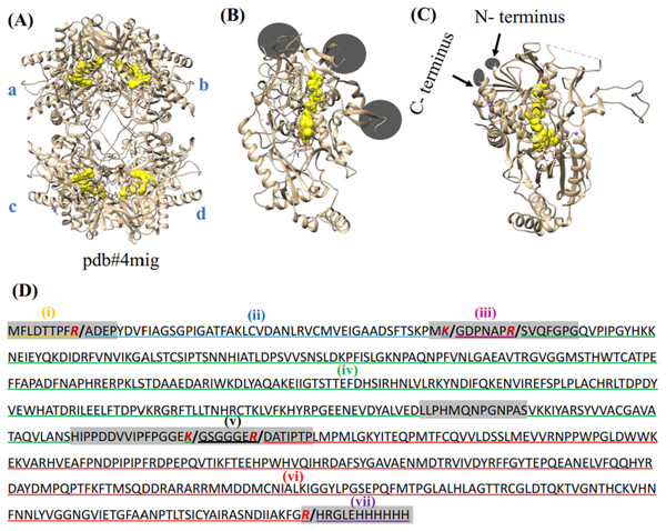 Crystal structure of POx and prediction of proteolytic fragments from trypsin treatment.