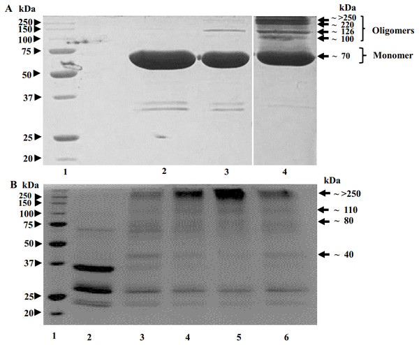 Results of crosslinking of POx by glutaraldehyde (GA) shown by SDS-polyacrylamide gel electrophoresis.
