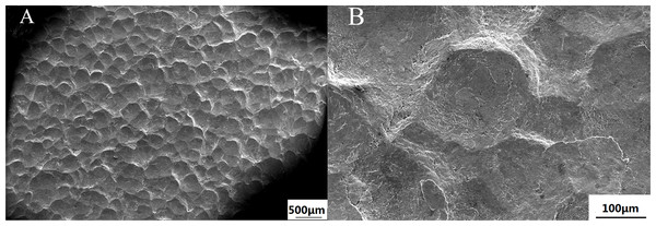 The descaling effects from the front section's scanning after the shot blasting with a large amount of abrasive of No. 2 group (A) 50 times magnification (B) 500 times amplification (WD = 12.4 mm).