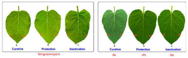 Tobacco leaf morphology effects of the NNM and 4k, 4h and 4a against TMV in vivo.