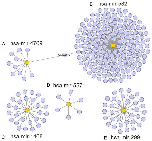 Prediction of miRNAs down-stream target genes.