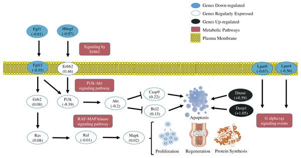 Transcriptional metabolic characterization model of PI3K-Akt/Erbb2/RAF-MAP kinase pathways.