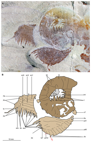 Buccaspinea cooperi gen. et sp. nov. from the Cambrian (Drumian) Marjum Formation in the House Range of Utah, USA.
