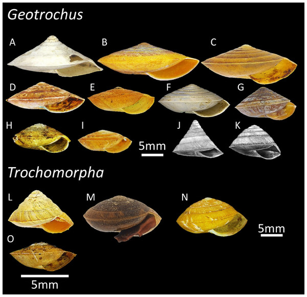 The variation of shell forms of 11 Geotrochus species and four Trochomorpha species in Sabah.