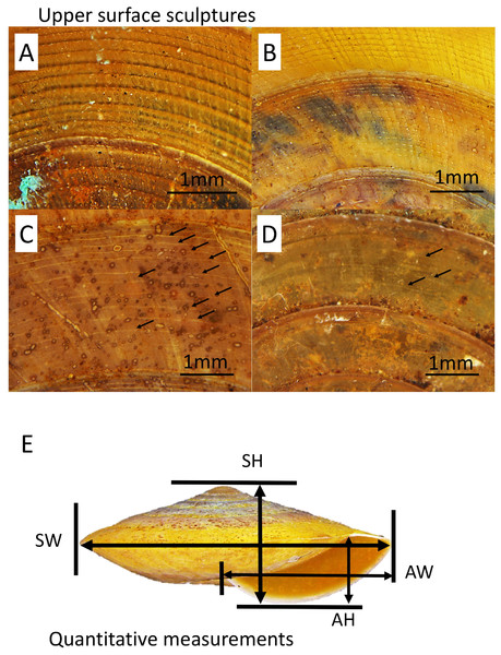 Upper surface sculptures and quantitative shell traits included in this study.