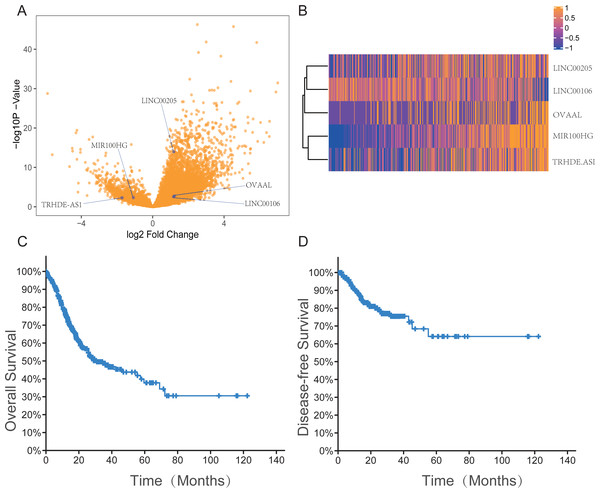 The expression information of five lncRNAs, overall survival and disease free survival in gastric cancer patients in the TCGA dataset.