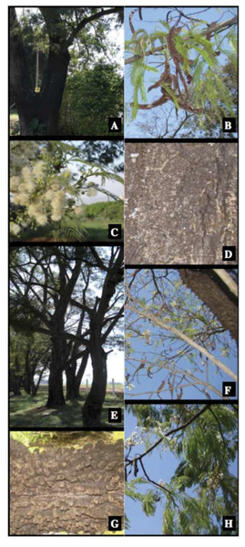 Pictures of Anadenanthera colubrina and A. peregrina illustrating its vegetative and reproductive characteristics.