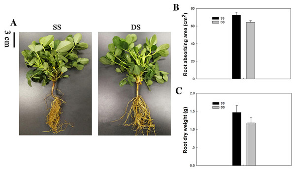 Phenotypical comparisons of peanut in SS and DS sowing treatment.