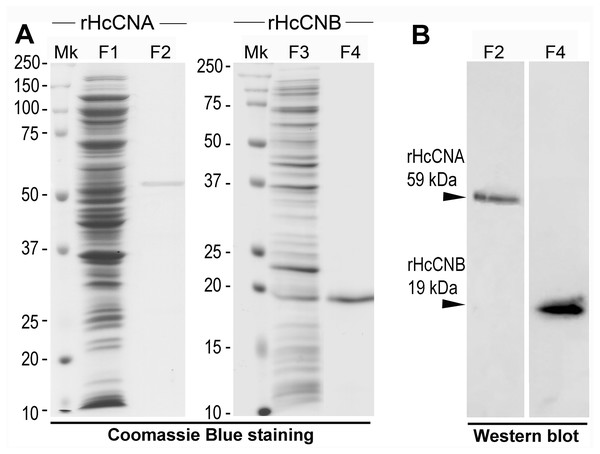 Expression and purification of rHcCNA, rHcCNB and their Western blot analysis.