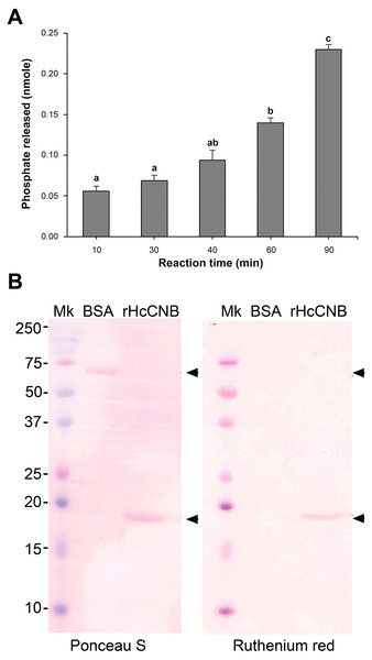 Testing of phosphatase activity of the combined rHcCNA and rHcCNB and Ca2+-binding activity of rHcCNB protein.