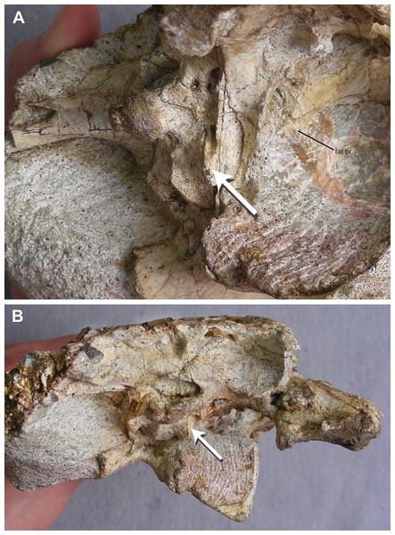 TMM 45911-1, holotype of Chinatichampsus wilsonorum.