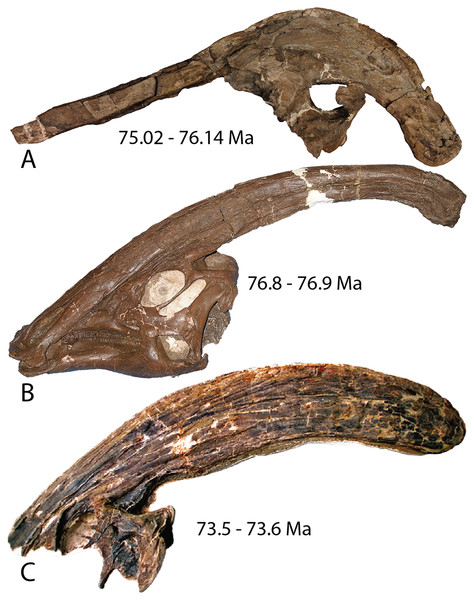 Holotype skulls of the three currently diagnosed species within the Parasaurolophus clade.