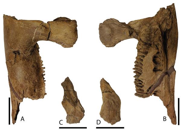 Mandibular elements of Parasaurolophus cyrtocristatus DMNH EPV.132300.