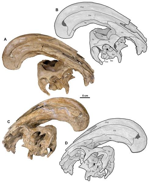 Skull of Parasaurolophus cyrtocristatus (DMNH EPV.132300).