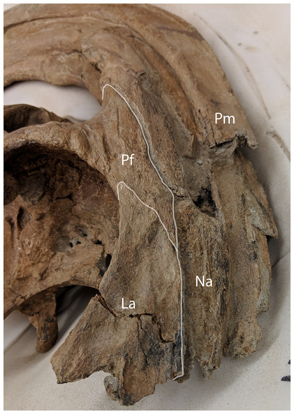 Anterolateral view of Parasaurolophus cyrtocristatus DMNH EPV.132300 showing the relationship of the nasal, lacrimal, and prefrontal.