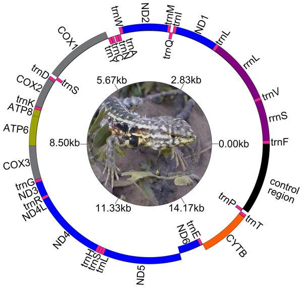 Map of the complete mitogenome of Liolaemus darwinii. Ph: Cristian Abdala.