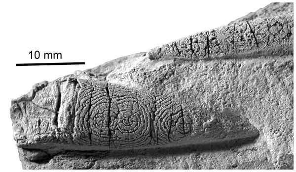 The belemnite Neohibolithes from the Altmann–Member, Barremian, southwestern Altmann–Sattel, Alpstein Massif (Switzerland). Specimen NMSG Coll. P. Kürsteiner 5A.05.07.