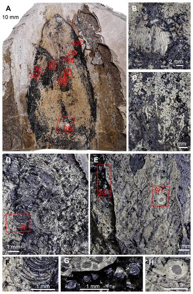Trachyteuthis hastiformis, Kimmeridgian, Painten (Germany). SMNS 70496, leg. M. Kapitzke.