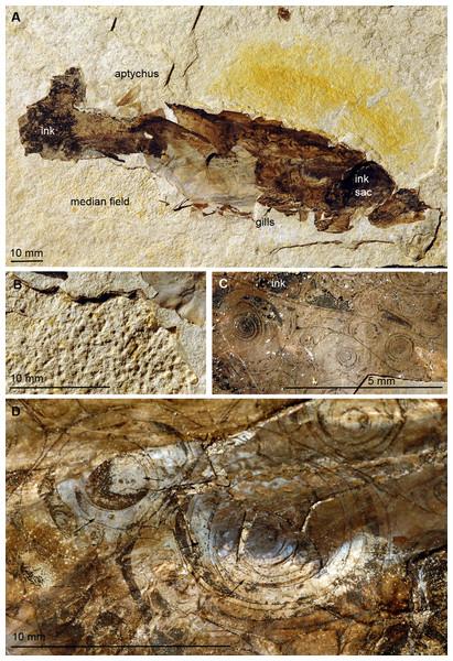 Trachyteuthis hastiformis, Kimmeridgian, Rygol quarry, Painten (Germany). PIMUZ 51761.